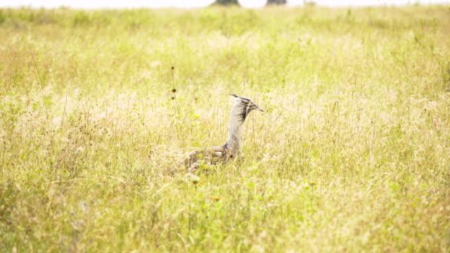 wild bird kori bustard (ardeotis kori) afrika kenya - single pampas grass bildbanksvideor och videomaterial från bakom kulisserna