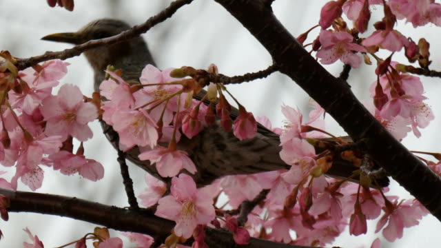 Wild bird playing in the blooming cherry blossom tree at sunset. video