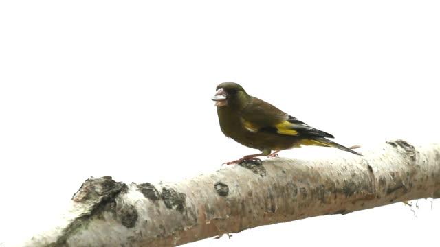 Wild bird video