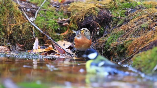 Wild birds are bathed in a forest puddle
