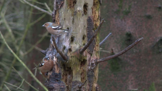 Wild birds eating food from an old rotten tree used as a feeding station before flying away video