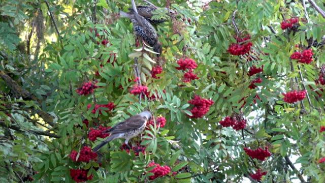 vídeos de stock e filmes b-roll de wild birds fieldfare turdus pilaris and starlings sturnus vulgaris eating rowan berries - baga