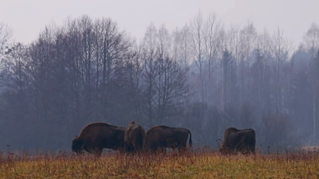 Wild Bison in the forest. European bison (Bison bonasus). It is one of two species, alongside the American bison. video