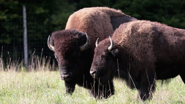 Wild bisons stands in a steppe and chews dry grass