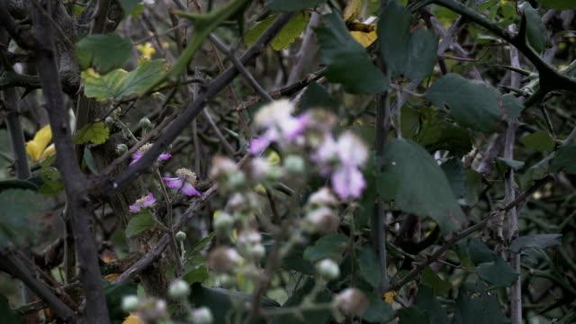 Wild blackberry blooms in autmn video