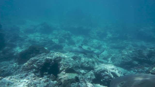 stockvideo's en b-roll-footage met wilde blacktip reef shark (carcharhinus melanopterus) - eén dier