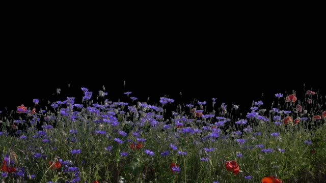wild blooming summer meadow in the wind, cut out with alpha mask, purple cornflowers and red poppies - grass isolated video stock e b–roll