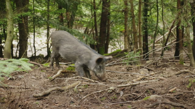 Wild boar digs the ground with its snout. Looking for food in the forest video