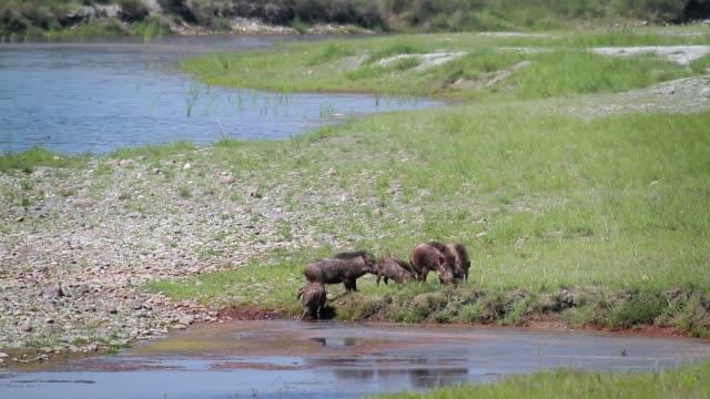 wild boar in bardia national park, nepal - park narodowy kanha filmów i materiałów b-roll