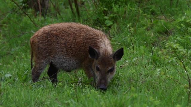 Wild boar in forest video