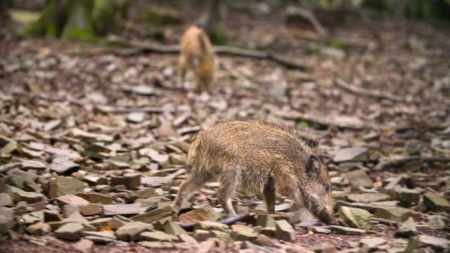 Wild Boar Piglet video