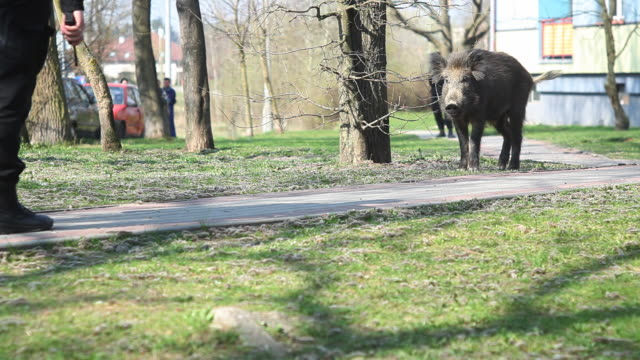 Wild boar watched by a policeman video
