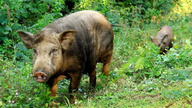 Wild boars having dinner video