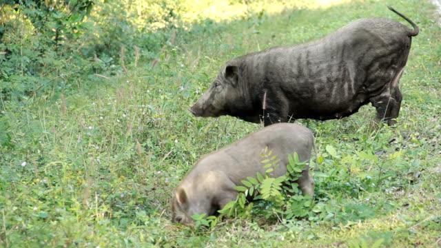 Wild boars having dinner. video