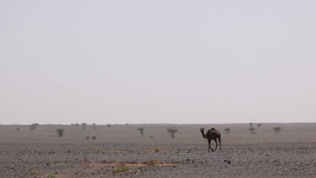 wildbraunes kamel allein weidet in schwarzer wüste in der sahara, marokko - afrikanische steppe dürre stock-videos und b-roll-filmmaterial