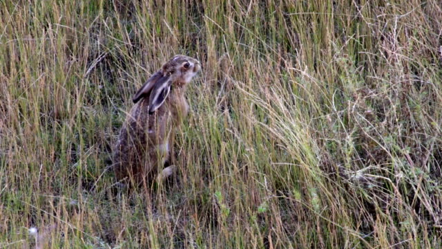 Wild brown hare eating grass in field video