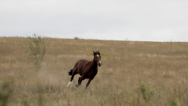 vilda brun häst på fältet kör galopp - häst bildbanksvideor och videomaterial från bakom kulisserna
