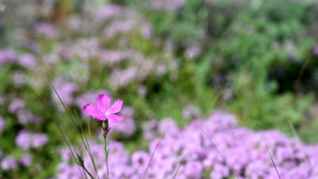 A wild carnation flower grows in the meadow. video