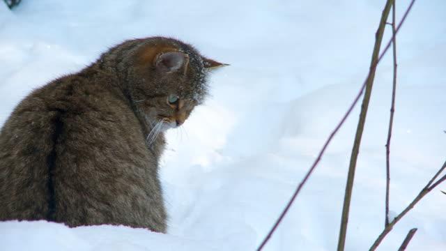 wild cat in winter video