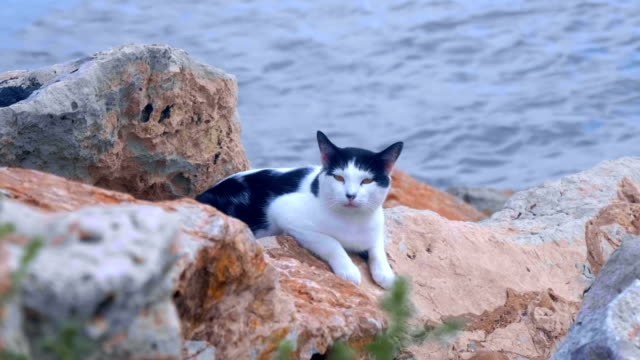 Wild cat lies on the rocks at the edge of the water of the Mediterranean Sea