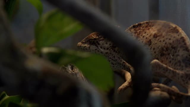 Wild chameleon during hunting i the tropical forest