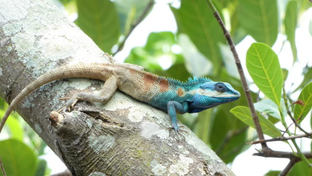 Wild chameleon Wild chameleon (lizard) on a tree in tropical rain forest. 4K Apple ProRes 422 (HQ) 3840x2160 Format gecko stock videos & royalty-free footage