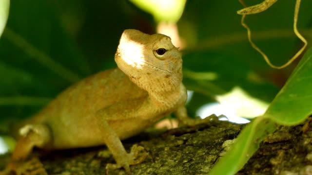 Wild chameleon video