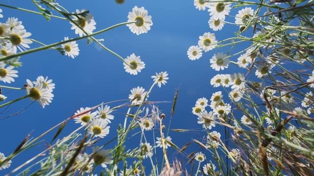 fiori di camomilla selvatica contro il cielo blu - flora lussureggiante video stock e b–roll