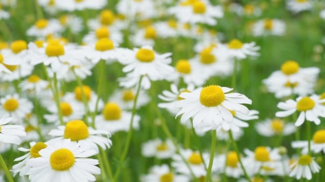 Wild Chamomile flowers growing on meadow. Close up of wild herbal video