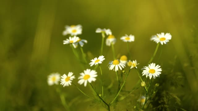 Wild chamomile swaying at the wind on field. 4k resolution.