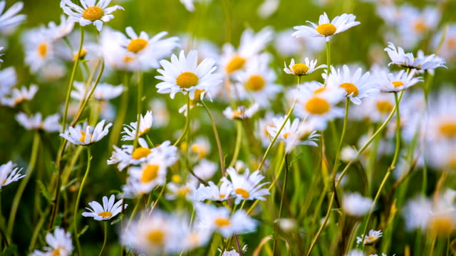 Wild chamomile swaying at the wind on field video