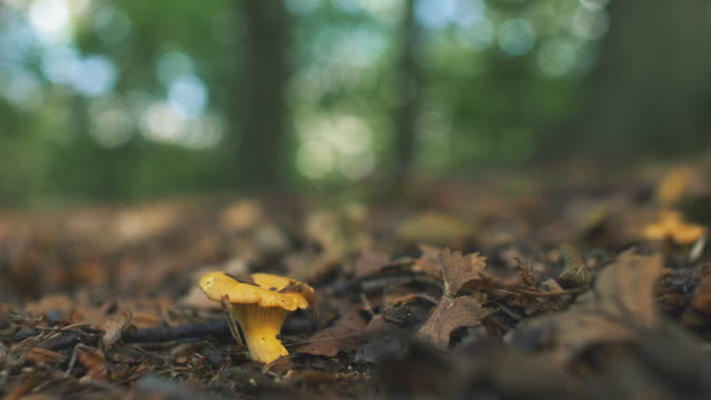 Wild Chanterelle Mushrooms in Sunny Forest