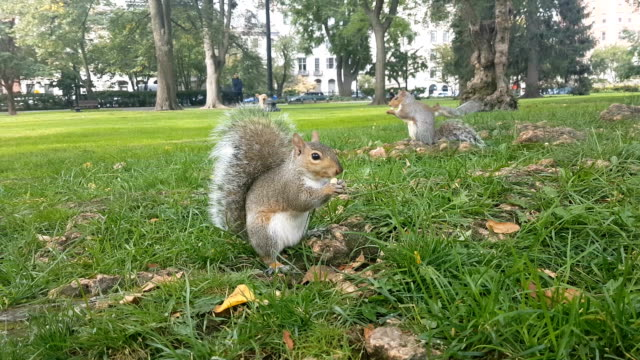 CLOSE UP: Wild chipmunk sitting on the grass, holding nut in his feet and eating video