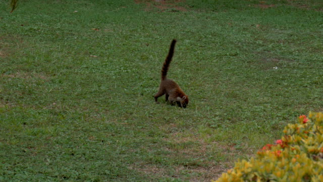 Wild Costa Rica coati foraging for food. video