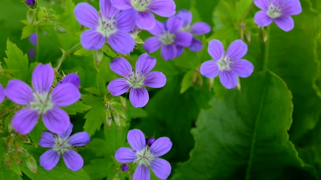 Wild Cranesbill in summer in shadow. Geranium pratense close up footage shooting static camera video