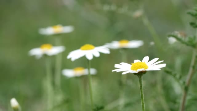 Wild daisies. Springtime field flowers blooming in white colors, nature is waking up.