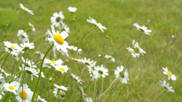 Wild daisy flowers growing on meadow. video