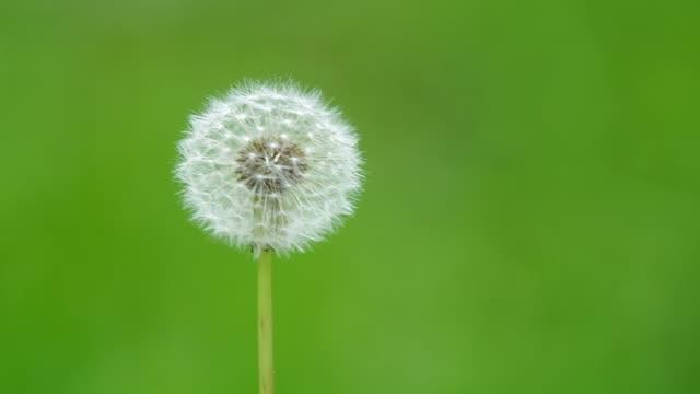 wild dandelion flowers and wind video