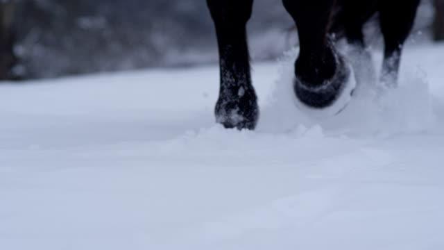 SLOW MOTION CLOSEUP: Wild dark horse walking through deep snow blanket in winter video