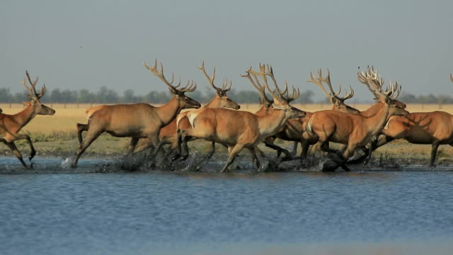 Wild Deers Run On Water