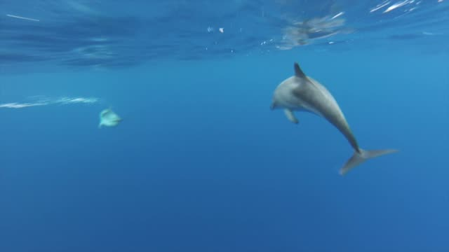 Wild dolphin's swimming Wild dolphins filmed mid atlantic swimming away from the camera crossing in and out of the frame dolphin stock videos & royalty-free footage