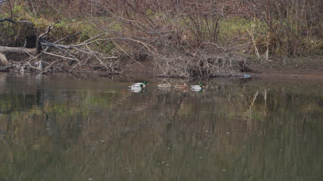 Wild duck family swimming in the river in a row