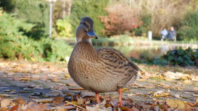 Wild duck posing in front of camera video