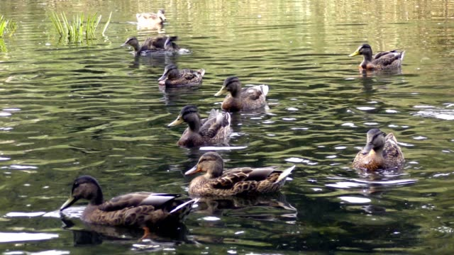 wild ducks and other birds swimming in pond - pond stock videos & royalty-free footage