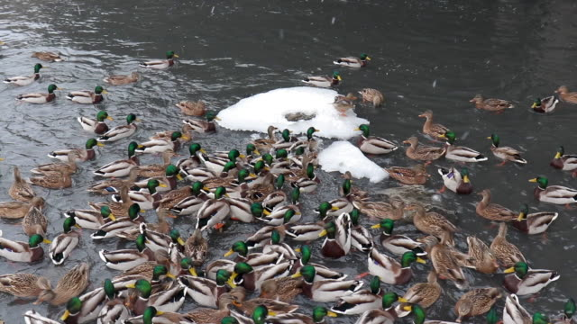 wild ducks arrived on the river in the city and live with city birds. - ghiaccio galleggiante video stock e b–roll