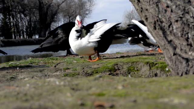 Wild ducks in nature video
