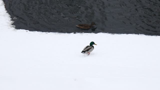 Wild ducks in winter near the water. Birds on the ice of the river. The life of animals in their natural environment Wild ducks in winter near the water. Birds on the ice of the river. The life of animals in their natural environment zoology stock videos & royalty-free footage