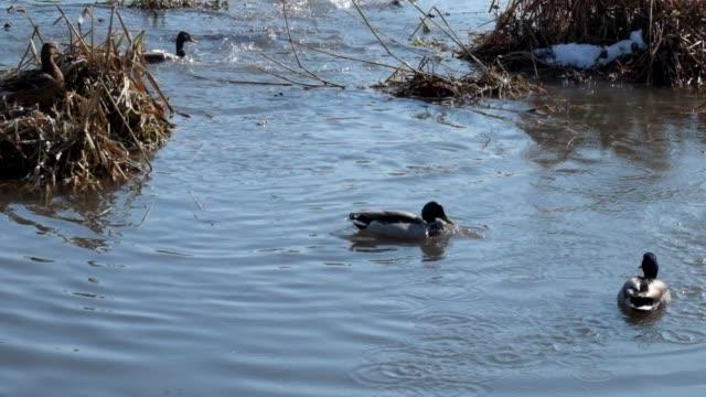 Wild ducks mallard mass dive under the water (Anas platyrhynchos) video