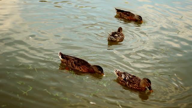 Canards sauvages sur l'étang - Vidéo