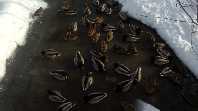 Wild ducks swim in a pond in a recreation park in the metropolis.  Winter
